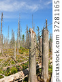 Dead wood in national park Bavarian Forest 37281165