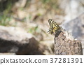 butterfly, machaon, nature 37281391