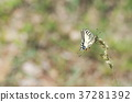 butterfly, machaon, nature 37281392