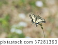 butterfly, machaon, papilio 37281393