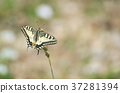 butterfly, machaon, papilio 37281394