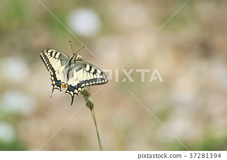 Papilio Machaon Butterfly 37281394