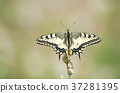 butterfly, machaon, papilio 37281395