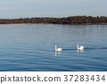 Graceful swans in calm water 37283434
