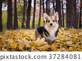 Dog  on a walk in a beautiful autumn forest. 37284081