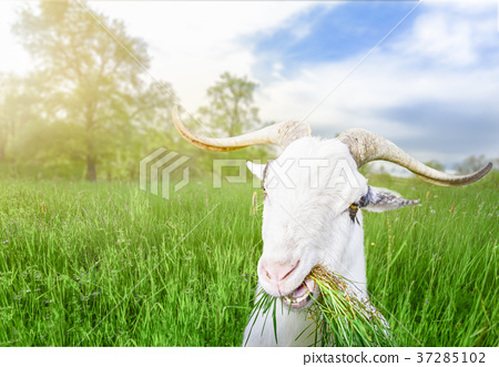 Funny billy goat with grass in its mouth 37285102
