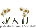 Narcissus flower white back 37290049