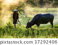 Young woman farmer and a buffalo enjoy in rice field on sunset o 37292406