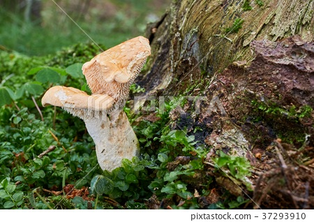 Hydnum repandum. Fungus in the natural environment 37293910