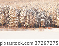 Very beautiful snow-covered forest at sunset 37297275