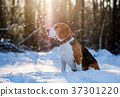 Beagle on a walk in the snowy woods  37301220