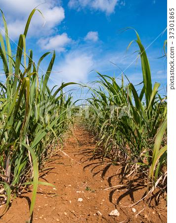 Okinawa Prefecture Ie Island Sugar Field 37301865