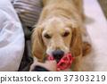 โกลเดน รีทีร์พเวอร์,สุนัข,สุนัช 37303219