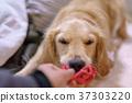 โกลเดน รีทีร์พเวอร์,สุนัข,สุนัช 37303220