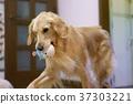 โกลเดน รีทีร์พเวอร์,สุนัข,สุนัช 37303221