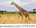 長頸鹿 非洲 肯尼亞 37303305