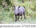 野豬 非洲 肯尼亞 37303306