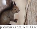 다람쥐 홋카이도 삿포로 겨울 37303332