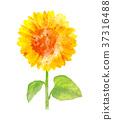 ทานตะวัน,ดอกไม้,สีน้ำ 37316488