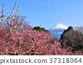 ต้นฟูจิและต้นพลัมฤดูใบไม้ผลิ 37318064