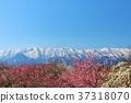 ภูมิทัศน์ของท้องฟ้าสีฟ้าและพลัมในฤดูใบไม้ผลิ 37318070