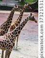 기린, 다마 동물 공원, 타마 동물 공원 37321531