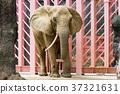 非洲象 多摩動物園 動物 37321631
