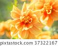 dahlia dahlias flower 37322167
