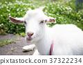 goat goats mountain 37322234
