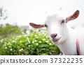 goat goats mountain 37322235