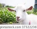 goat goats mountain 37322236