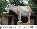 山羊 37323010