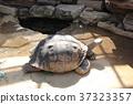 加拉巴哥島龜類 大陸龜 烏龜 37323357