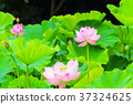 lotus, bloom, blossom 37324625