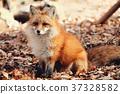 狼,狐尾狐,北角 37328582