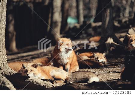 狐狸 虾夷红狐狸 动物 37328583