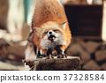 狼,狐尾狐,北角 37328584