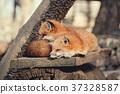 狼,狐尾狐,北角 37328587