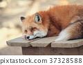 สัตว์,ภาพวาดมือ สัตว์,จิ้งจอก 37328588