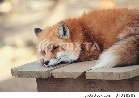狐狸 虾夷红狐狸 动物 37328588