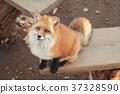 狼,狐尾狐,北角 37328590