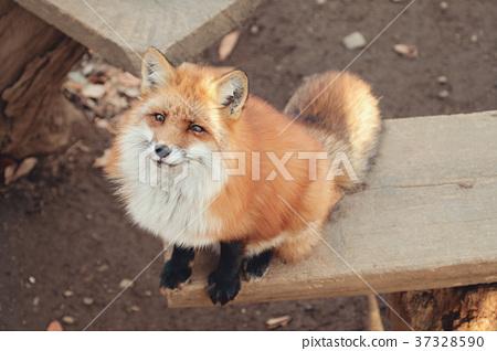 狐狸 虾夷红狐狸 动物 37328590