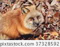 狼,狐尾狐,北角 37328592
