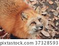 狼,狐尾狐,北角 37328593