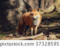 狼,狐尾狐,北角 37328595