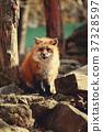 狼,狐尾狐,北角 37328597