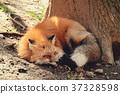 狼,狐尾狐,北角 37328598