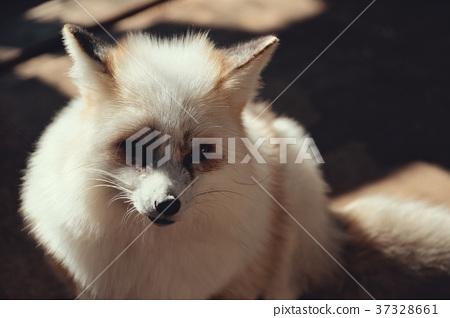 狐狸 虾夷红狐狸 动物 37328661