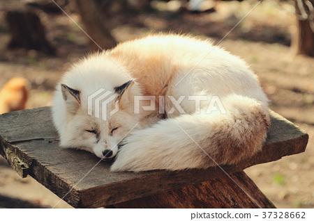狐狸 虾夷红狐狸 动物 37328662