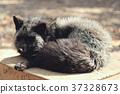 福克斯,狐狸,狐狸狐狸 37328673